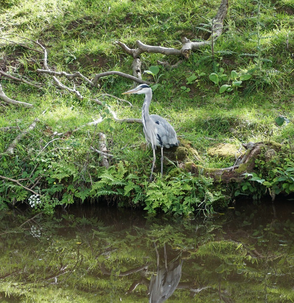 Heron on the bank of the Monmouthsire and Brecon Canal
